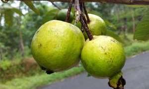 guava-888070_960_720